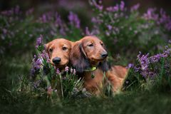Long haired dachshund puppies posing outdoors. Adorable long haired dachshund puppies outdoors royalty free stock image