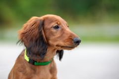 Long haired dachshund puppy posing outdoors. Adorable long haired dachshund puppy outdoors royalty free stock photography