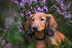 Long haired dachshund puppy posing outdoors in heather flowers. Adorable long haired dachshund puppy outdoors stock images