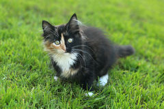 Adorable Long Haired Domestic Kitten With a Split Face Royalty Free Stock Photos