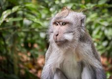 Long-tailed macaque on Bali island stock images