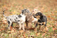 Adorable Louisiana Catahoula puppies playing Stock Photo