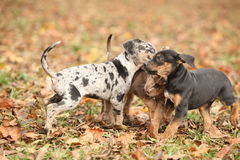 Adorable Louisiana Catahoula puppies playing Royalty Free Stock Photos