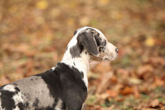 Adorable Louisiana Catahoula puppy Royalty Free Stock Photography