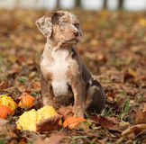 Louisiana Catahoula puppy with pumpkins in Autumn Royalty Free Stock Photo
