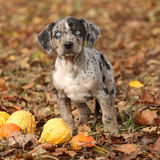 Louisiana Catahoula puppy with pumpkins in Autumn Royalty Free Stock Photos