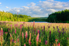 Adorable lupine wildflowers in the field with lake at the background Royalty Free Stock Images