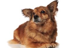 Adorable lying brown metis dog looking up to side. On white background Royalty Free Stock Photography