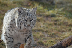 Adorable Lynx on the Move Royalty Free Stock Images