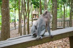 An adorable macaque monkey having a good time on a bench, while posing for the camera in Ubud, Bali royalty free stock image