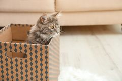 Adorable Maine Coon cat in cardboard box at home stock images