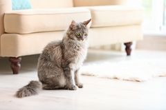 Adorable Maine Coon cat on floor at home. Space for text royalty free stock image
