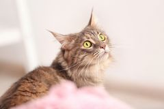 Adorable Maine Coon cat at home. Space for text stock photography