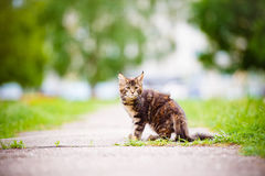 Adorable maine coon kitten outdoors Royalty Free Stock Image