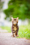 Adorable maine coon kitten outdoors Stock Image