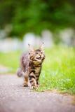 Adorable maine coon kitten outdoors Stock Photos