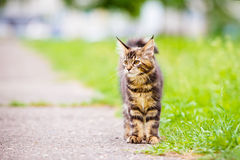 Adorable maine coon kitten outdoors Royalty Free Stock Photo