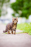 Adorable maine coon kitten outdoors Royalty Free Stock Photos