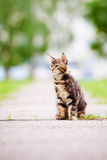 Adorable maine coon kitten outdoors Royalty Free Stock Images