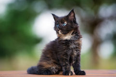 Adorable  maine coon kitten outdoors Stock Photos