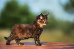 Adorable maine coon kitten outdoors Royalty Free Stock Photography