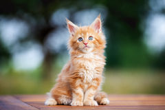 Adorable maine coon kitten outdoors Stock Photo