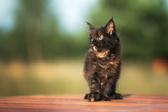 Adorable maine coon kitten outdoors Stock Images