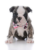Adorable male puppy Stock Photography
