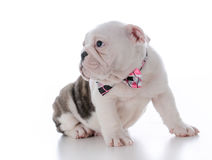 Adorable male puppy Royalty Free Stock Photography