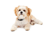 Adorable Maltese Mix Breed Dog Laying. At an angle while looking off to the side Stock Image