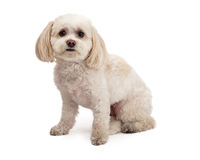 Adorable Maltese And Poodle Mix Breed Dog Sitting. An adorable Maltese And Poodle Mix Breed Dog sitting at an angle while looking forward Royalty Free Stock Photo