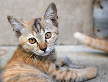 Adorable meowing tabby thai kitten. Stock Photo