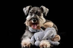 An adorable miniature schnauzer with a stuffed elephant royalty free stock images