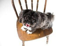 Adorable miniature shih tzu puppy dog. White and black with short fur Royalty Free Stock Photos