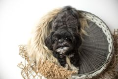 Adorable miniature shih tzu puppy dog. White and black with short fur stock image