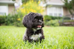 Adorable miniature shih tzu puppy dog. White and black with short fur Royalty Free Stock Photography