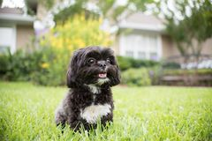 Adorable miniature shih tzu puppy dog. White and black with short fur Royalty Free Stock Image
