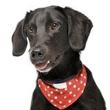 An adorable mixed breed dog with red polka dot scarf. Portrait of an adorable mixed breed dog with red polka dot scarf - studio shot, isolated on white Royalty Free Stock Photo