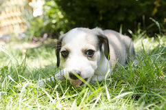 Adorable mixed breed puppy Stock Image