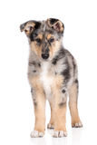 Adorable mixed breed puppy posing on white Stock Photography