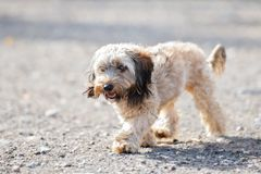 Adorable shih tzu mix dog walking outdoors. Adorable mixed breed small dog outdoors royalty free stock photography