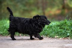 Small black mixed breed dog on a walk. Adorable mixed breed small dog outdoors royalty free stock photo