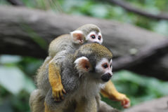 Adorable Mother and Baby Squirrel Monkey Together stock images