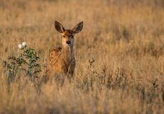Mule Deer Fawn in a Meadow During Morning Light stock photos