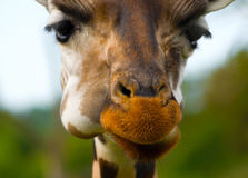 Adorable muzzle of a giraffe Royalty Free Stock Photo