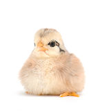 Adorable newborn baby chick Royalty Free Stock Images