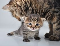 Adorable newborn kitten with mother Royalty Free Stock Photography