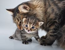 Adorable newborn kitten with mother Stock Photography