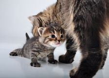 Adorable newborn kitten with mother Royalty Free Stock Photos