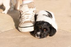 Lovely Newborn puppy dog 7.5 weeks old is sleeping next to a shoe stock photo